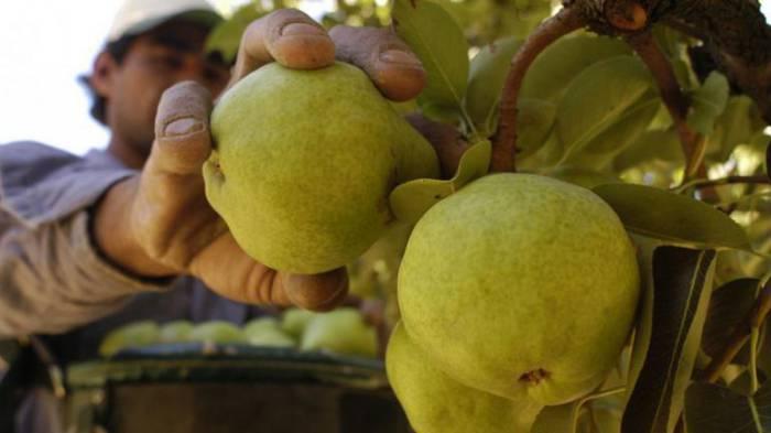 Mendoza ya puede exportar peras y manzanas a Brasil